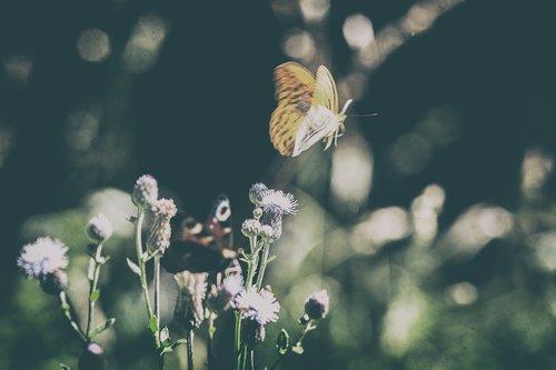 drugelis, meadow, pobūdį, vabzdys, Iš arti, makro