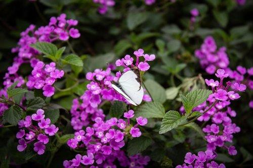 drugelis, baltos spalvos, vabzdžiai, gyvūnai, augalų, violetinė, sodo, gėlės