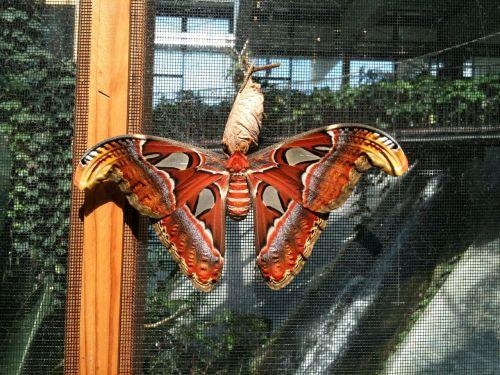 drugelis,atlasas motina,атлас атлас,drugys,Povaičiūtė,Saturniidae,didžiausias drugelis,didelis,įrašyti,pasaulio rekordas,vabzdys