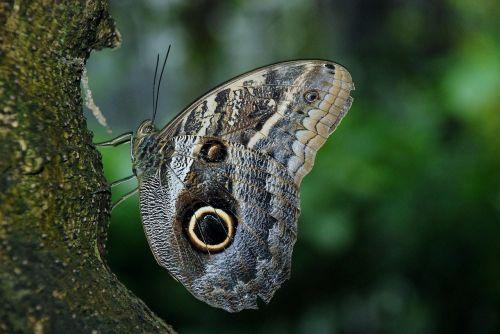 drugelis,vabzdys,sparnas,laukinė gamta,klaida,šviesus,mažas,subtilus,trapi,spalvinga,antenos,proboscis,kokonas,krūtinės angina,laukiniai,entomologija,metamorfozė,lauke,gyvenimas,gamta,bestuburiai,Caligo eurilochus