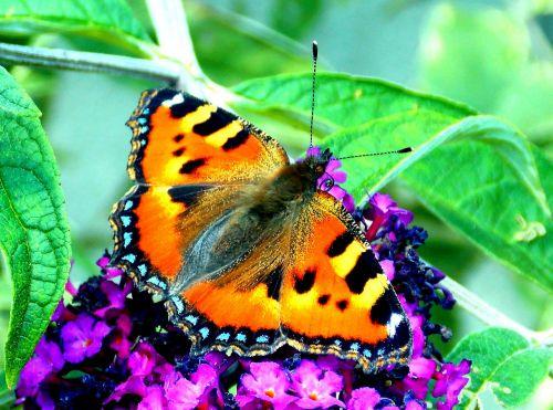 drugelis,maža lapė,drugeliai,vabzdys,gamta,gyvūnas,sparnas,vasara,Uždaryti,zondas,edelfalter,pleistras drugelis,gyvūnų pasaulis,makro,fauna,vasaros alyvinė,drugelis krūmas,sodas,nektaras