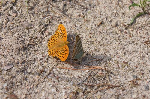 drugelis,gamta,fauna,vabzdys,sparnai,oranžinė