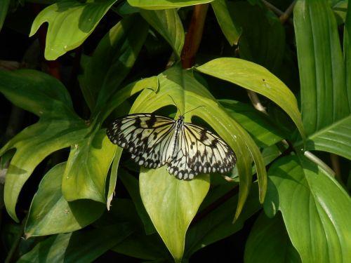 drugelis,gamta,žalias,gėlių,vabzdys,sparnas,lapai