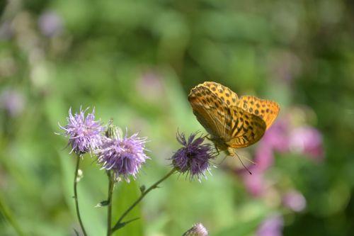 drugelis,gėlė,pavasaris,gamta,augalas,žydėti,žiedas,žydėti,vasara