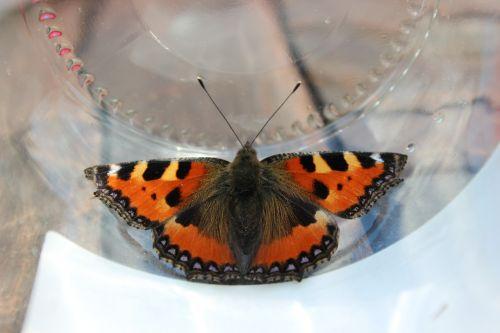 drugelis,oranžinė,juoda,gamta,vabzdys,mažasis vėžlys