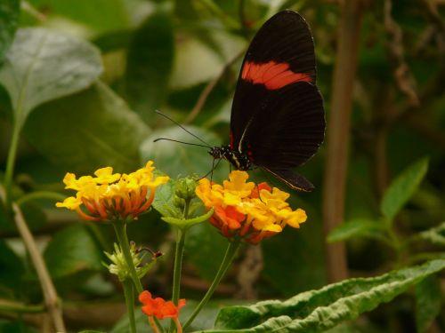 drugelis,mažas postbotas,heliconius erato,juoda,raudona,heliconinų gentis,passionblume drugelis,lantana,lantana camara,dekoratyvinis augalas,geltona,oranžinė,gėlė,žiedas,žydėti,verbena greenhouse,verbenaceae,augalas,sodas