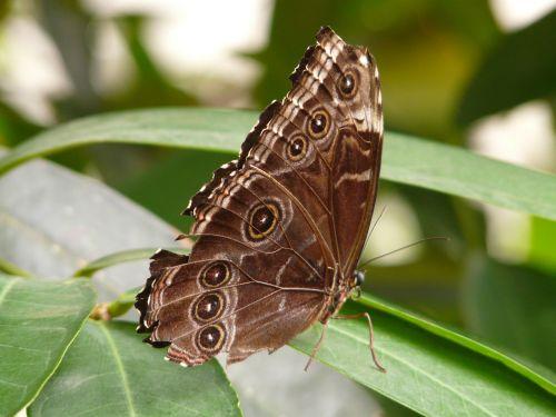 drugelis,mėlynas morfofleris,Morpho peleides,dangus drugelis,edelfalter,nymphalidae,didelis drugelis,skristi,sparnas,vabzdys,gamta,ruda,akys,eyepots,drugelis namas,atogrąžų namas,egzotiškas,atogrąžų,apačioje,šlaunų apačia
