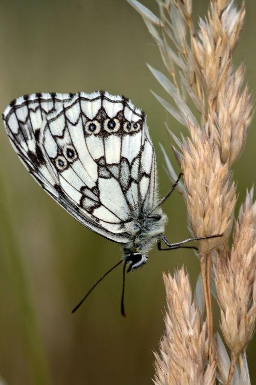 drugelis,makro,juoda ir balta,žolės mentė