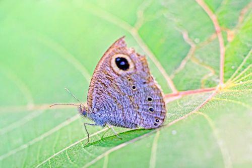 drugelis,kerala,Indija