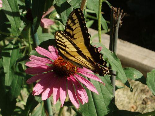 drugelis,dygliuota veislė,swallowtail,Echinacea,sodas,geltona