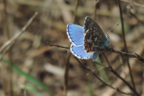 drugelis,drugeliai vasarą,vasara,gamta,vabzdys,Uždaryti,spalvinga,mėlynas drugelis