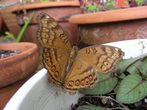 drugelis,drugeliai,Australijos drugelis,šiaurės karalienės drugelis,rudas drugelis,ruda,tan,sodas