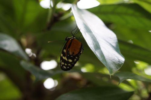 drugelis,atogrąžų,egzotiškas,atogrąžų namas,drugelis namas,lapai,sparnas,sėdėti,priklausyti,monarcho drugelis,monarchas,oranžinė