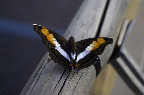 drugelis, spalvos, gamta, judėjimas, grožis, vabzdys, sparnai, kontrastas, laisvė, spalvinga, gamtos grožis