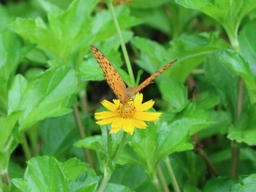 drugelis, priimti medų, gėlė, geltona gėlė, Quentin Chong, žiedadulkes