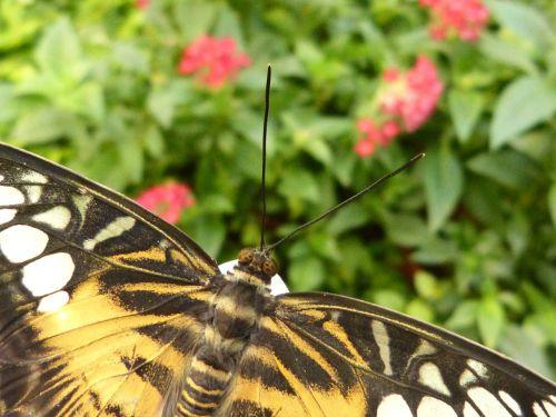 drugelis,vabzdys,gyvūnas,gamta,sparnas,skrydžio vabzdys,zondas