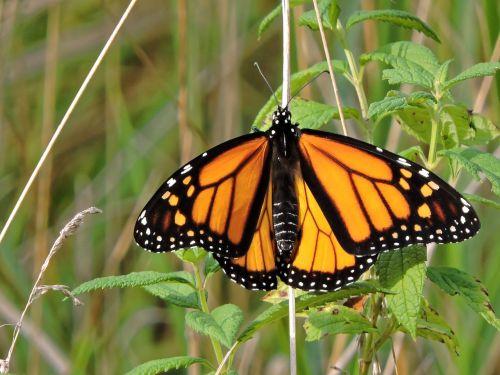 drugelis,monarcho drugelis,monarchas,vabzdys,gamta,oranžinė,juoda,balta,sparnas,geltona,vasara,klaida,sodas,izoliuota drugelis,laukinė gamta