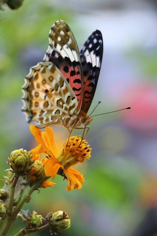 drugelis,spalvinga,gamta,pavasaris,augalas,sodas,flora,sparnai,vabzdys