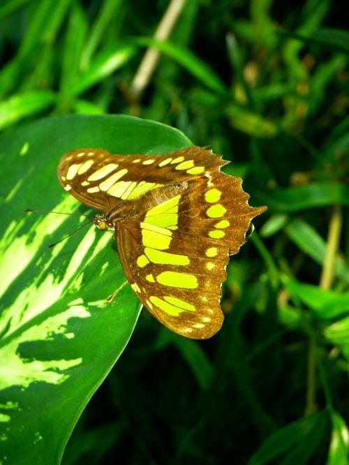 drugelis,skristi,vabzdys,gyvūnas,malachito drugelis,siproeta stelenes,nymphalis drugelis,papilio drugelis,papilio dhiman,Viktorijos drugelis,malachitas,bambuko puslapis,edelfalter,nymphalidae