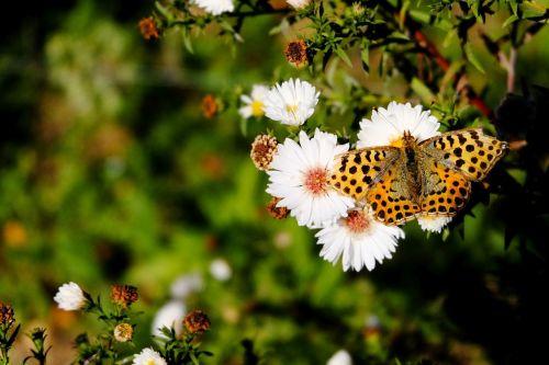 drugelis,fritillary,edelfalter,gamta,vasaros pabaigoje,Uždaryti