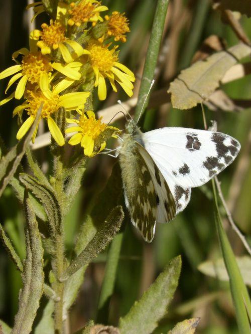 drugelis,juoda ir balta,libar,gėlė,sparnai