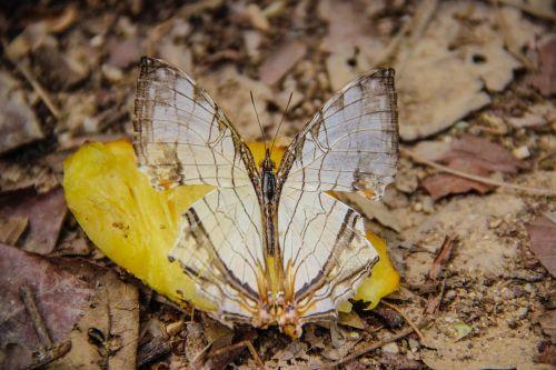 butterfly paprastas žemėlapis,Wong nymphalidae,vabzdžiai,gamta,miškai,gražus