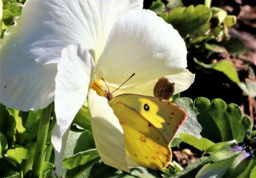 Iš arti, makro, gamta, laukinė gamta, vabzdžiai, drugelis, debesuota & nbsp, siera, geltona & nbsp, drugelis, sraigė, gyvūnai, balta, balta & nbsp, gėlė, Pansy, balta & nbsp, pansija, drugelis ir sraigė ant baltos gėlės