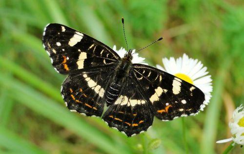 drugelio diena, vabzdys, gamta, gyvūnai, drugeliai, undinė kratkowiec, formos vasara, sodas, antenos, teismo posėdyje, Iš arti, gražus, laukiniai, Niekas, vasara, be honoraro mokesčio