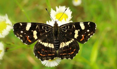 drugelis dieną, vabzdys, pobūdį, gyvūnai, drugeliai, bestuburiai, undinė kratkowiec, forma vasarą, antenos, Sodas, gėlė, vejos, miškas, Iš arti, augalų, vasara, ne iš teismo, trapumas