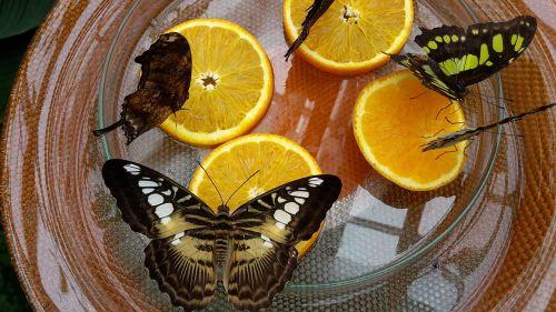 drugelis namas,drugeliai,Mainau sala,drugelis,vabzdys,drugelis namas mainau,gamta,spalvinga,akis,atogrąžų,vaisiai,egzotiškas,geltona juoda,maistas,ežero konstanta