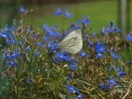 drugelis su gėlėmis,drugelis,baltas drugelis,vabzdžiai,vasara