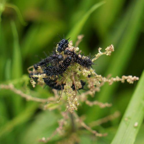 drugelių lervos,lervos,juoda,nokkosperhosen lervos,nymphalis urticae