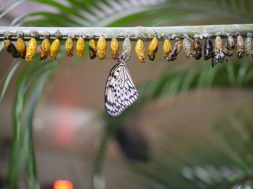 drugelio gyvavimo ciklas, gamta, vabzdys, lauke, drugelis, laukinė gamta, lerva, vikšras, Chrysalis, pupa, drugelio metamorfozė, metamorfozė, be honoraro mokesčio