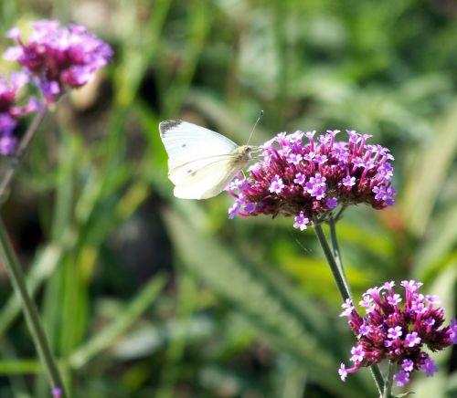 balta, drugelis, balta & nbsp, drugelis, gėlė, vasara, drugelis ant gėlių