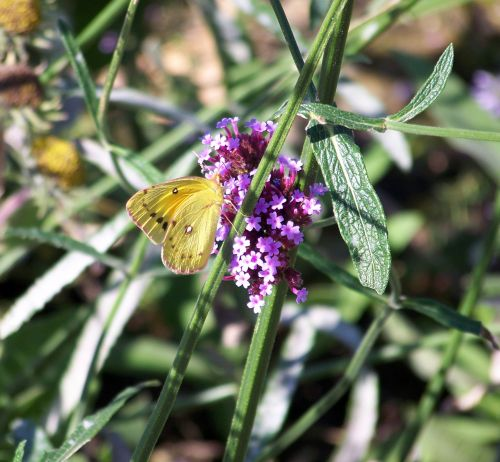 geltona, drugelis, geltona & nbsp, drugelis, gėlės, vasara, drugelis ant gėlių