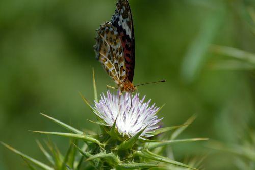 drugelis ant baltų laukinių gėlių,makro,drugelis,vabzdys,gyvūnas