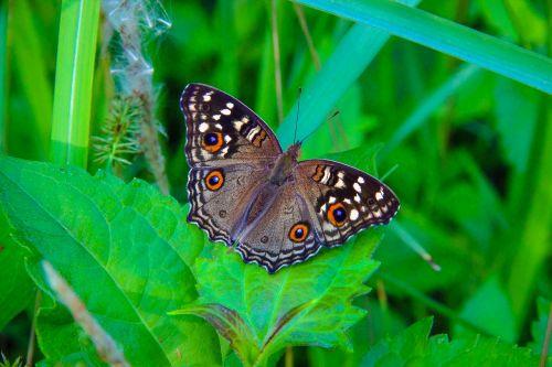 drugelis pan c spalvos įdegis,Wong nymphalidae,vabzdžiai,gamta,miškai,gražus