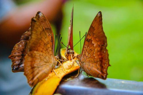 drugelis tan spines raudonas,Wong nymphalidae,vabzdžiai,gamta,miškai,gražus