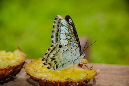 drugelio technikas sijojamas,Wong nymphalidae,vabzdžiai,gamta,miškai,gražus