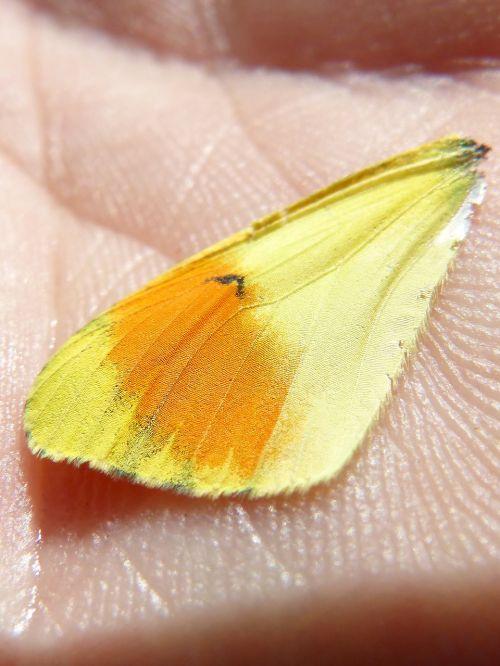 drugelis sparnas,spalvos,išsamiai,svarstyklės,ranka,spalvinga