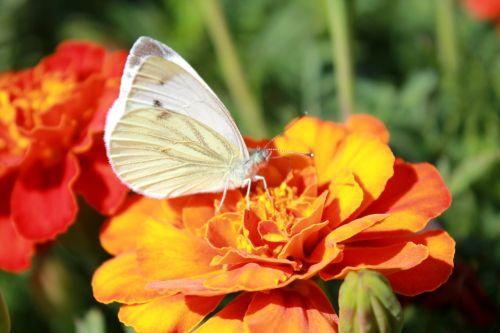 kopūstų drugelis,drugelis,drugelis ant gėlės,gėlė,gražus drugelis
