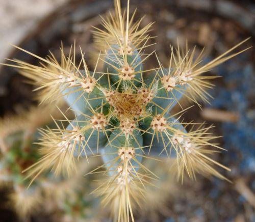 kaktusas,erškėčių,tvoros,viršutinis vaizdas