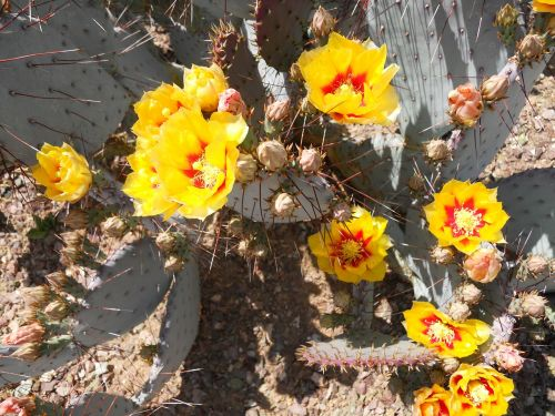 kaktusas,žydėti,dygliuotas kriaušes,gėlė,Arizona,augalas
