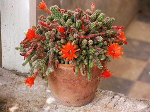 kaktusas,žydintis kaktusas,plytelės,puodą,oranžinė gėlė,gamta,augalas,twinge,aechmea augalas,gėlės,nuotaika,Viduržemio jūros