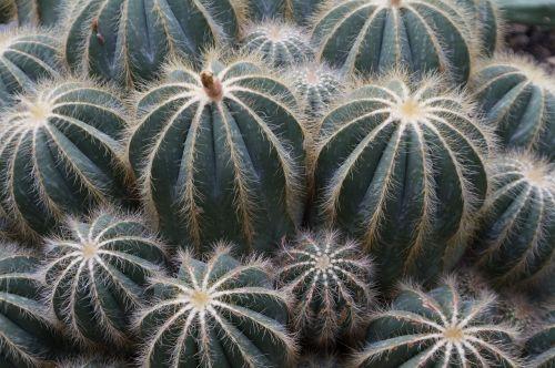 kaktusas,žalias,šerti