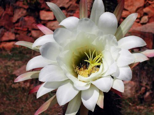 kaktusas,gėlė,žydėjimas,balta,augalas,sultingas,žiedlapiai