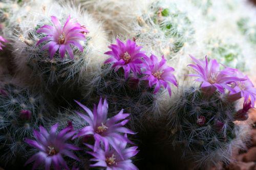 kaktusas,žydintis kaktusas,violetinė,žiedas,žydėti,gėlės,gamta