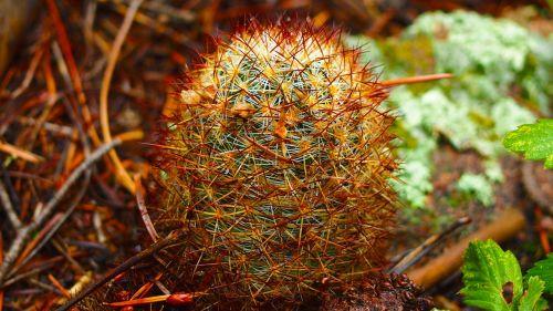 kaktusas,gamta,lauke,augalas,spalvotas kaktusas,aplinka,erškėtis,Colorado,laukinis kaktusas,laukinis augalas,kaktusas,spalvos,augalai iš Colorado