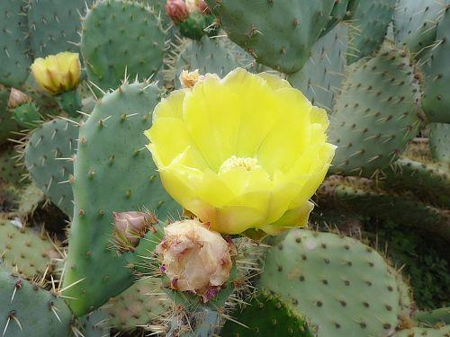 kaktusas,gėlė,erškėčių,makro,žydėjimas,botanika,figos,vasaros gėlės