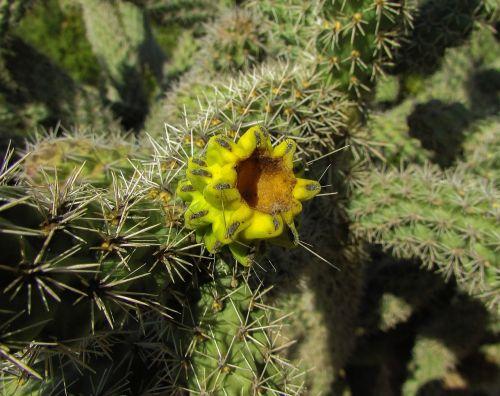 kaktusas,augalas,gamta,gėlė,aštrus,erškėčių,žalias,kaktusas parkas,ayia napa,Kipras